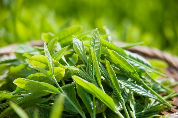 Cách chữa mụn bọc bằng trà xanh bạn nên biết 1